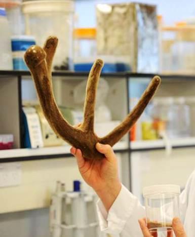 Công dụng chữa bệnh của nhung hươu đối với con người như thế nào?